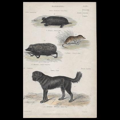 Various Mammals including Mole, Tibeten Dog - Circa 1840 coloured Print