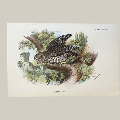 Little Owl, Small Plate Print -1893
