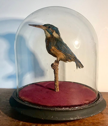 Early 20th Century Taxidermy Kingfisher