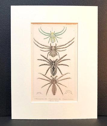 Arachnid Plate 10 - Hand Coloured Circa 1860