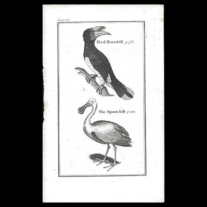 Pied Hornbill - 1792 Copper Plate Engraving. P 60