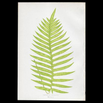 Polypodium decumanum - Circa 1860 Print