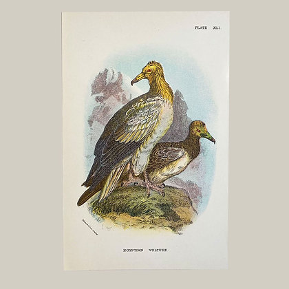 Egyptian Vulture, Small Plate Print -1893