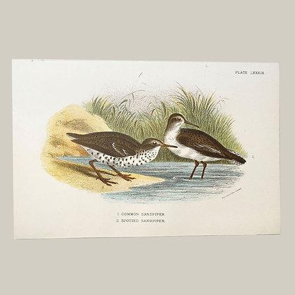 Common Sandpiper, Small Plate Print -1893