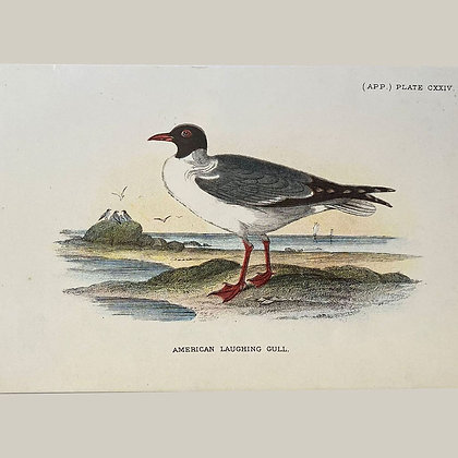 American Laughing Gull, Small Plate Print -1893