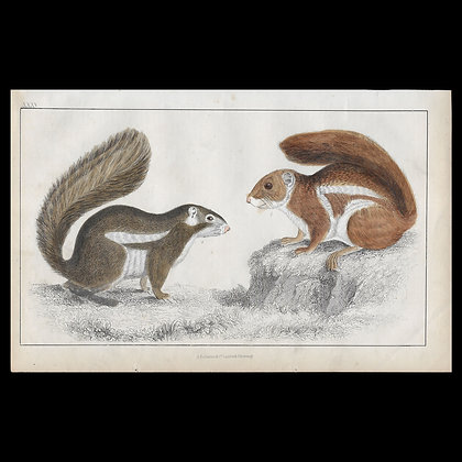 Squirrel - 1858 Hand Watercoloured Print