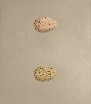 Land Rail and Spotted Crake, Egg Print Circa 1890