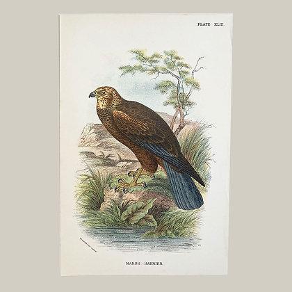 Marsh Harrier, Small Plate Print -1893