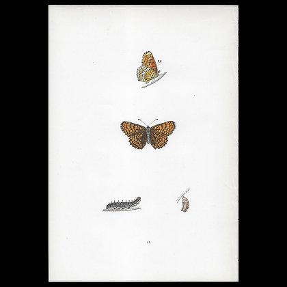 Glanville Fritillary Butterfly - Circa 1860 Print