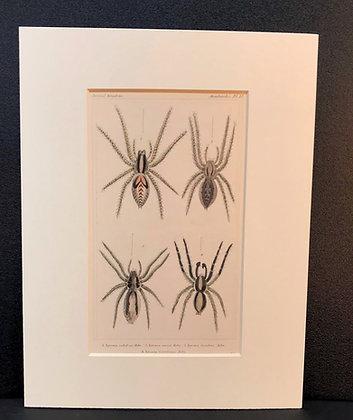 Arachnid Plate 17 - Hand Coloured Circa 1860