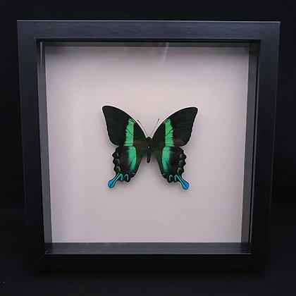 Framed Green Swallowtail (Papilio blumei)