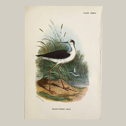 Black Winged Stilt, Small Plate Print -1893