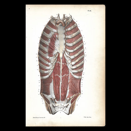 Plate 10 - Arteries of the Back & Abdomen. Original 1847 Print.