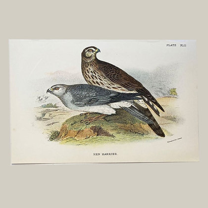 Hen Harrier, Small Plate Print -1893