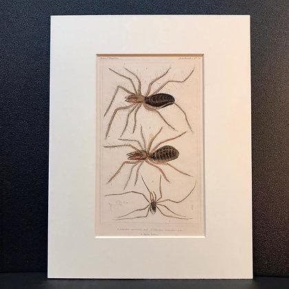 Arachnid Plate 24B - Hand Coloured Circa 1860