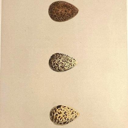 Broad Billed Sandpiper, Stint and Peep, Egg Print Circa 1890