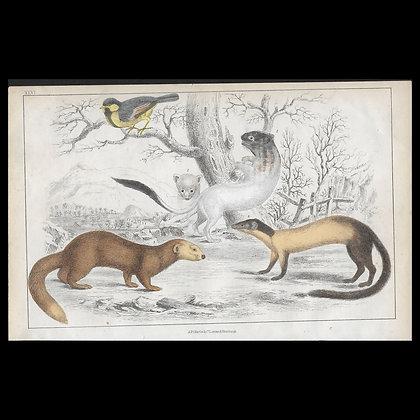 Weasels - 1858 Hand Watercoloured Print