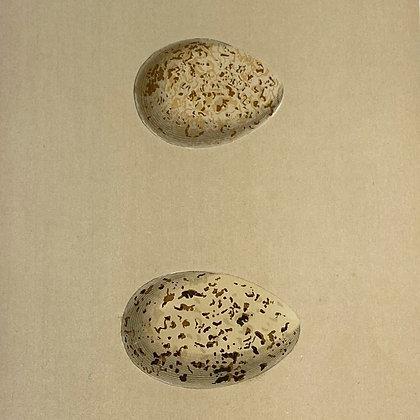 Great Plover, Egg Print Circa 1890