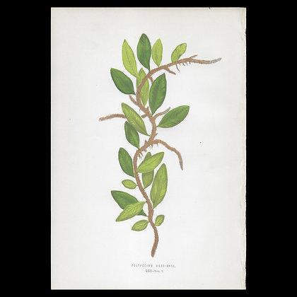 Polypodium owariense - Circa 1860 Print