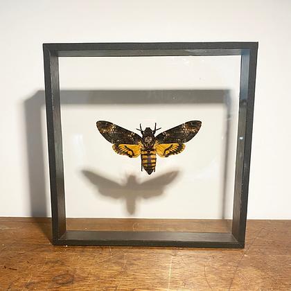 Deaths Head Hawk Moth - Double Sided Glass Frame
