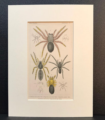 Arachnid Plate 5 - Hand Coloured Circa 1860