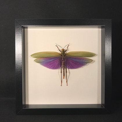 Framed Purple Winged Grasshopper (Titanacris albipes)