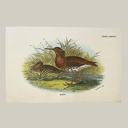 Ruff, Small Plate Print -1893