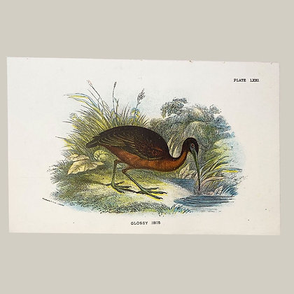 Glossy Ibis, Small Plate Print -1893