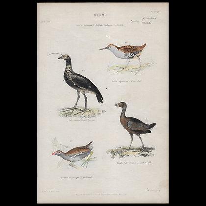 Various Birds including Sultana Bird  - Circa 1840 Hand coloured Print