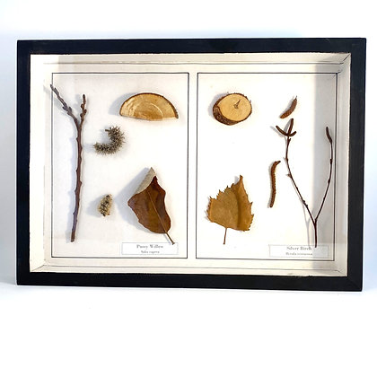 Pusst Willow and Silver Birch  - Botanical Specimens