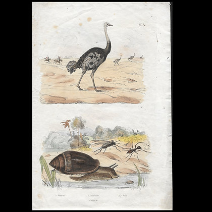 Ostrich and Snail - 1829 Hand coloured Print