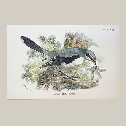 Great Grey Shrike, Small Plate Print -1893