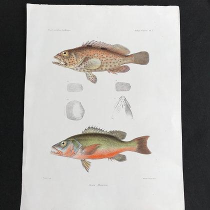 Sea Perch - 1861 Choromolithograph Print.