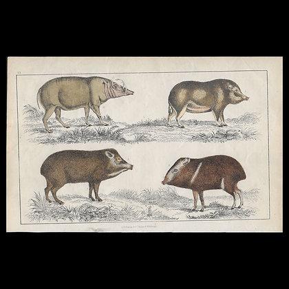 Hogs - 1858 Hand Watercoloured Print