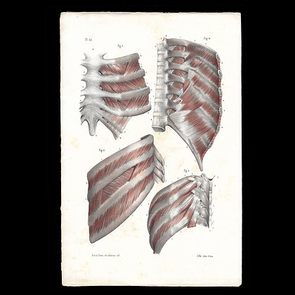 Plate 35 - Muscles of the Ribs . Original 1847 Print.