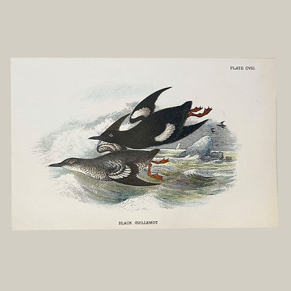 Black Guilemot, Small Plate Print -1893