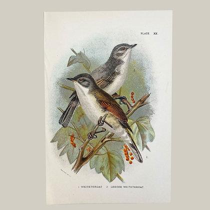 Whitethroat & Lesser Whitethroat, Small Plate Print -1893