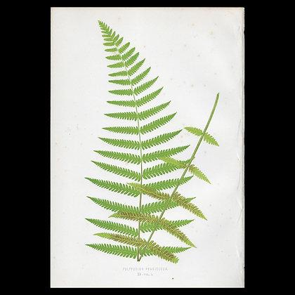 Polypodium pennicerum - Circa 1860 Print