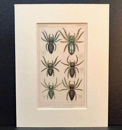Arachnid Plate 21 - Hand Coloured Circa 1860
