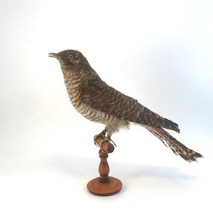 Taxidermy Cuckoo