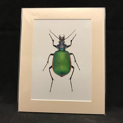 Callesoma sycophanta - Real Macro Photograph of Insect #11