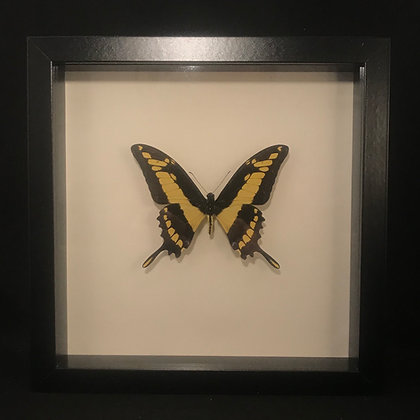 Framed King Swallowtail Butterfly (Papillio thoas)