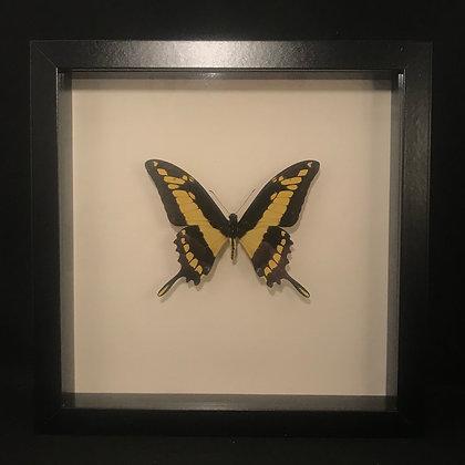 Framed King Swallowtail Butterfly (Papillio thoas)