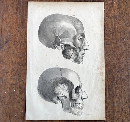 Large Lithograph Print Showing Muscles of Cranium -  Plate 9
