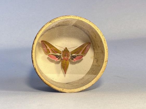 Elephant Hawk Moth -Deilephila elpenor - Bug Pot