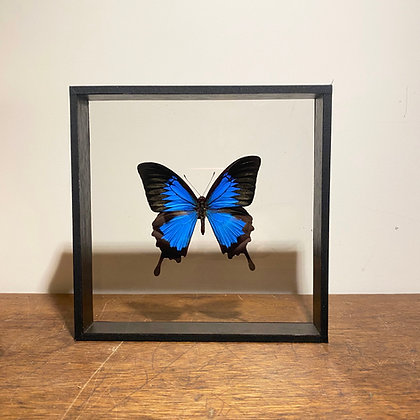 Blue Mountain Swallowtail   - Double Sided Glass Frame