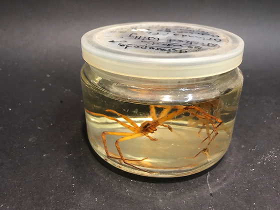 CLEARANCE - Wet Specimen Huntsman Spider and Moult (UK SHIPPING ONLY)