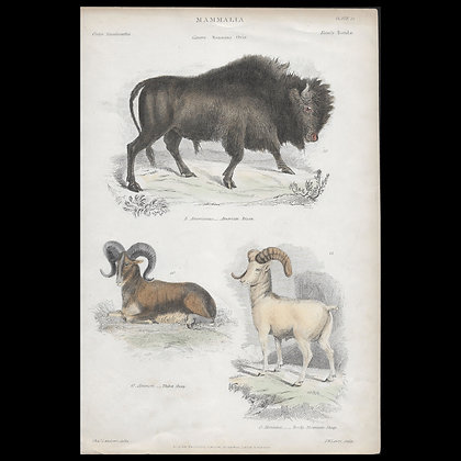Various Mammals including American Bison - Circa 1840 coloured Print