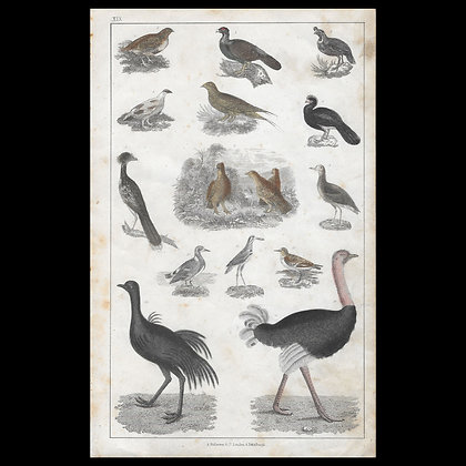Various Birds including Ostrich - Circa 1840 Hand coloured Print