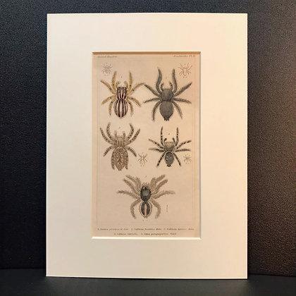 Arachnid Plate 19 - Hand Coloured Circa 1860